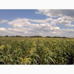 Продам цукрову кукурудзу, початок збору 25-28 липня