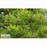 Продам семена: Сумах оленерогий (уксусное дерево)