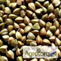 Продам насіння гречки, сорт Гранбі( Канада)