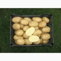 Картофель оздоровленный in vitro, сорт Аризона