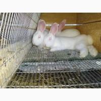 Кроленята. Продам кролі Термонської породи. Кролики термонці. Термони