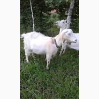 Продам дойную козу Ламанча