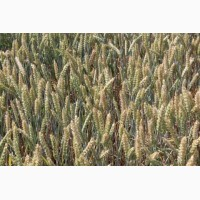 Продам насіневу пшеницю сорт Прейрі - 109