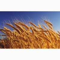 Куплю пшеницю класову та фуражну