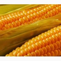 Кукурудза. Крупнооптова закупівля