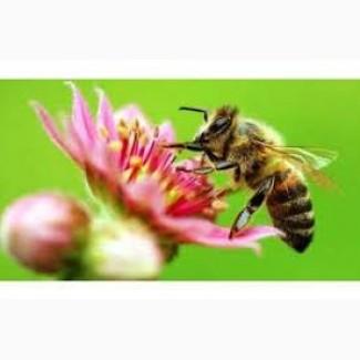 Продам бджолопакети (Карпатка)