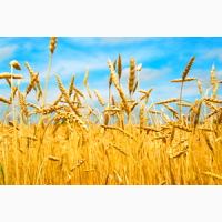Закупаем пшеницу (2-4 класс) ОПТ, ДСТУ