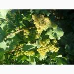 Виноград сортовой шампанский (винный) белый.Сорт Cавиньон блан
