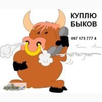 Покупаю быков весом от 150 кг до 500 кг, все регионы! Дорого! от 20 голов
