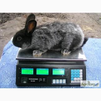 Продам кроликов породы БСС (европейское серебро) 2 месяца