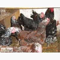 Продаю цыплят Ливенской породы кур