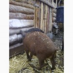 Поросят, свинки, поросята мангалиця, мангалица, мангалицкая пуховая, травоядная