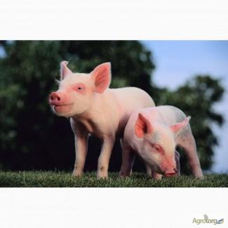 Премiкси для свиней, ВРХ та птицi ТМ Шенкон