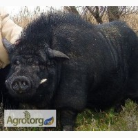 Продам. Поросята(свинки) кармалы, мангалы 3 - 5 месяцев