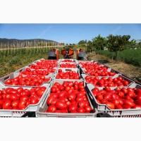 Заключаем договор на поставку помидоров оптом
