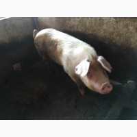 Продам супоросних свиноматок