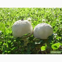 Шампиньон полевой - посевной материал зерновой мицелий