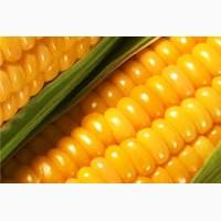 Куплю кукурудзу оптом. Якість ГОСТ (ДСТУ)