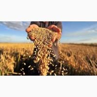 Куплю зерновые. Куплю масличные