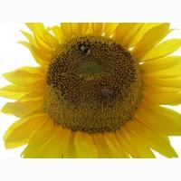 Семена подсолнечника гибрид Савой