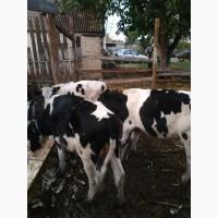 Продам КРС быков порода Голштин