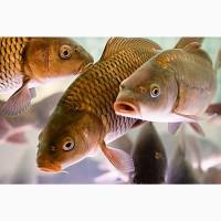 Продам живую рыбу Карп Толстолобик от производителя