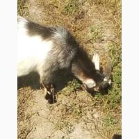 Продам коричнево- белого молодого козла Альпийской породы