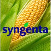 Продам насіння кукурудзи та соняшника Сингента від ТОВ Сатіва