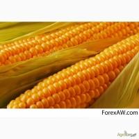 Кремень 200 СВ гибрид кукурузы семена