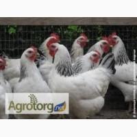Суточные цыплята кур породы Адлерская серебристая с вакцинацией