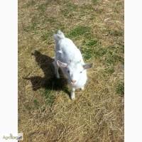 Продам Зааненских козлят