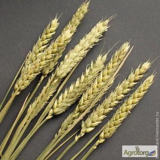 Закупаем пшеницу.Урожай 2017