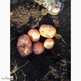 Продам картофель (Бела роса, Лабелла, Мадлен)