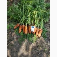 Продам морковь Абако от производителя Дніпропетровська обл