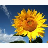 Насіння гібриду соняшнику Антей