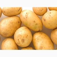 Картофель сорт Минерва сверхранний 1 репродукция, 3 кг, сетка