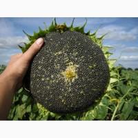 Продам семена подсолнечника гибрида Euralis Ягуар