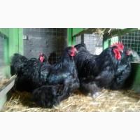 Орпингтон чёрный инкубационные яйца