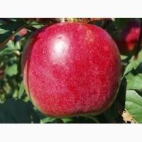 Продам яблука сорту Ерлі Женева, опт