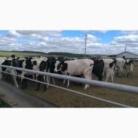 Компания ООО КамАгро продает нетелей молочных пород 1 500 голов КРС