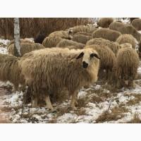 Гиссарский баран производитель 100+ кг курдючный