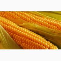 Предприятие закупает кукурузу