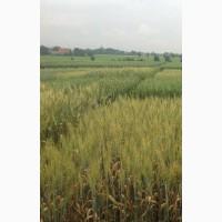 Насіння озимої пшениці Ампер Еліта - напівкарликовий (80-90см) сорт інтенсивного типу