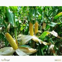 Моника 350 МВ гибрид кукурузы семена