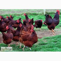 Суточные цыплята породы Род-Айленд с вакцинацией