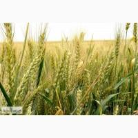 Озимая пшеница Богиня элита и 1 репр