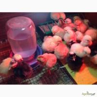 Цыплята породы геркулес