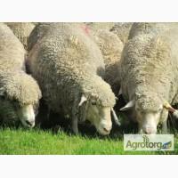 Продам оптом овец и ягнят романовской и шаролезкой породы