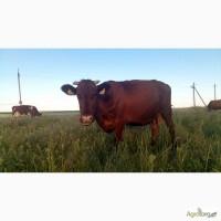 Продам корову СРОЧНО