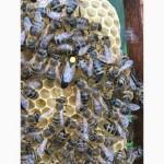 Бджоломатка КАРПАТКА Плідні матки 2021 року (Пчеломатки, Матка, Бджолині матки)